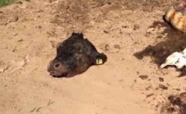 Preocupación por robo de ganado en localidades de Santa Fe y Córdoba