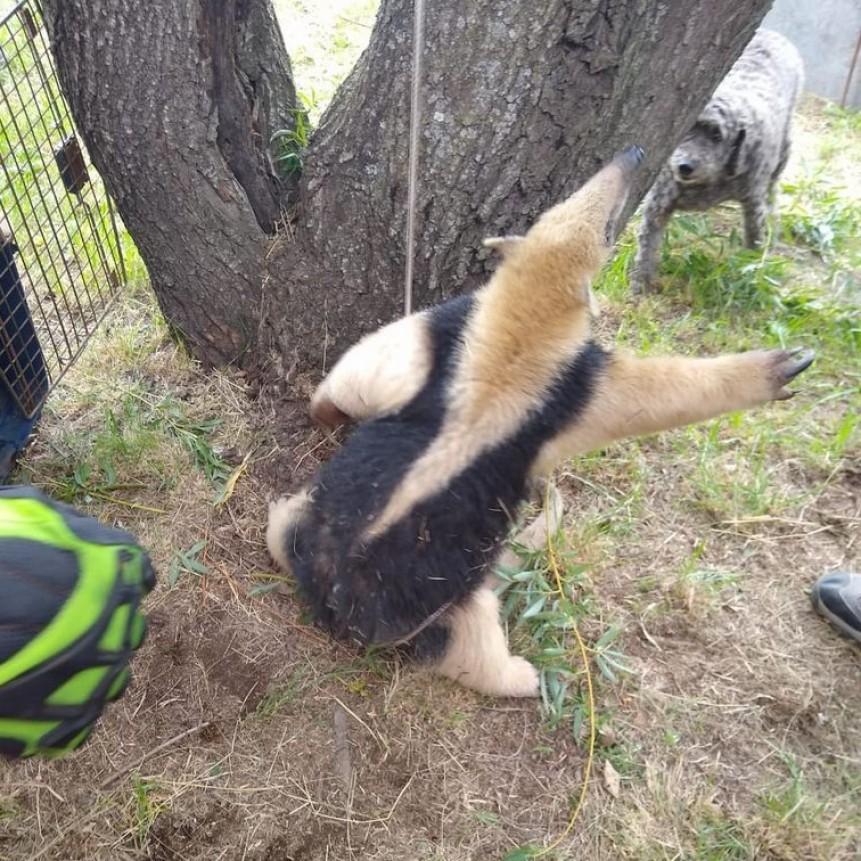 Rescataron a un oso melero de un campo de Bell Ville