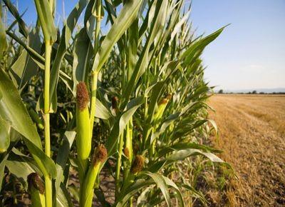 El maíz duplicó su salto de rendimiento frente a la soja durante las últimas 10 campañas