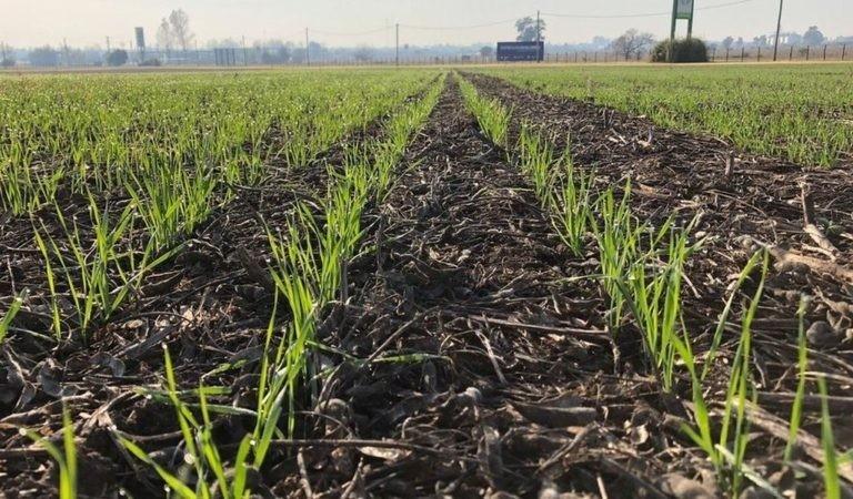 Primeros estadíos del trigo cordobés, con algunas complicaciones