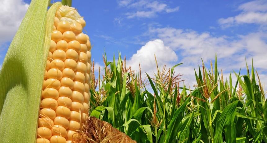 Córdoba escala al 6to lugar en el ranking de exportadores mundiales de maíz