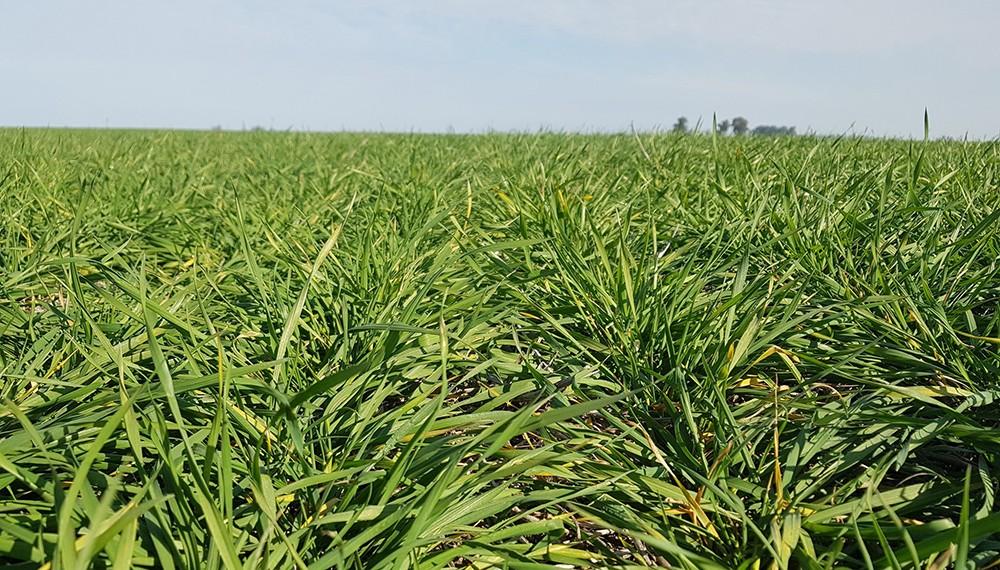 Clima: los cultivos de invierno tendrán lluvias y temperaturas normales en el trimestre frío en la zona centro