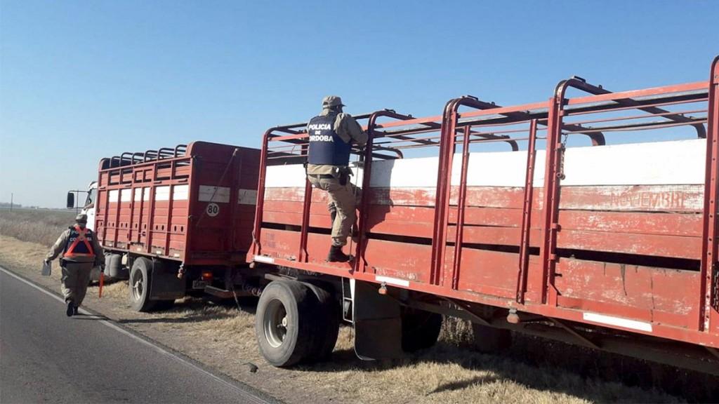 Pascanas: Un camionero fue detenido por transportar cerdos con documentación falsa