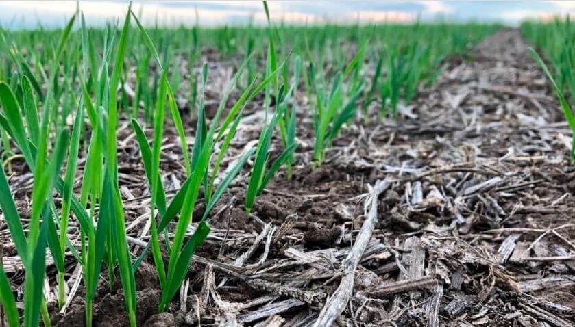 Confirman que el trigo vive la peor sequía de la última década y ya hay 2 MHa comprometidas